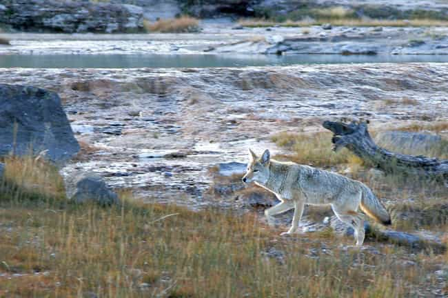 Coyote Steals Fire is listed (or ranked) 4 on the list The Myths And Folklore From Pacific Northwest Contain Some Truly Terrifying Legends