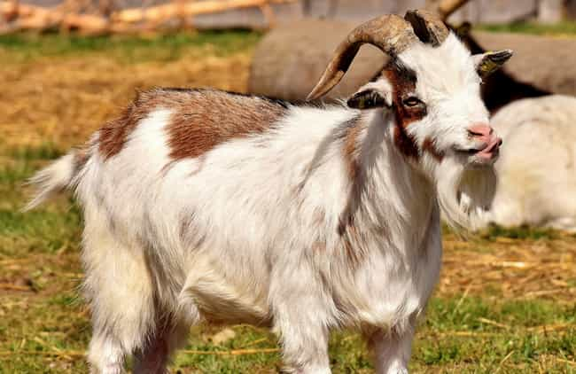 Tickle Torture: Goats, S... is listed (or ranked) 1 on the list 6 Exceedingly Strange, WTF Torture Methods From History