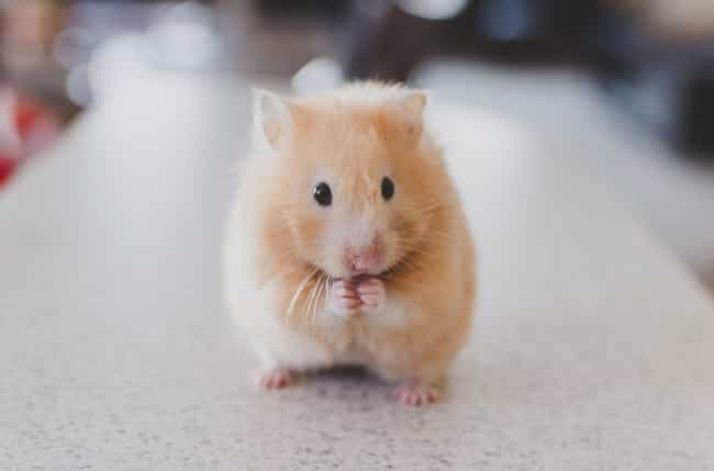Kiwi the Hamster, Eaten ... is listed (or ranked) 2 on the list People Describe the Craziest Ways Pet Hamsters Died When They Were Kids