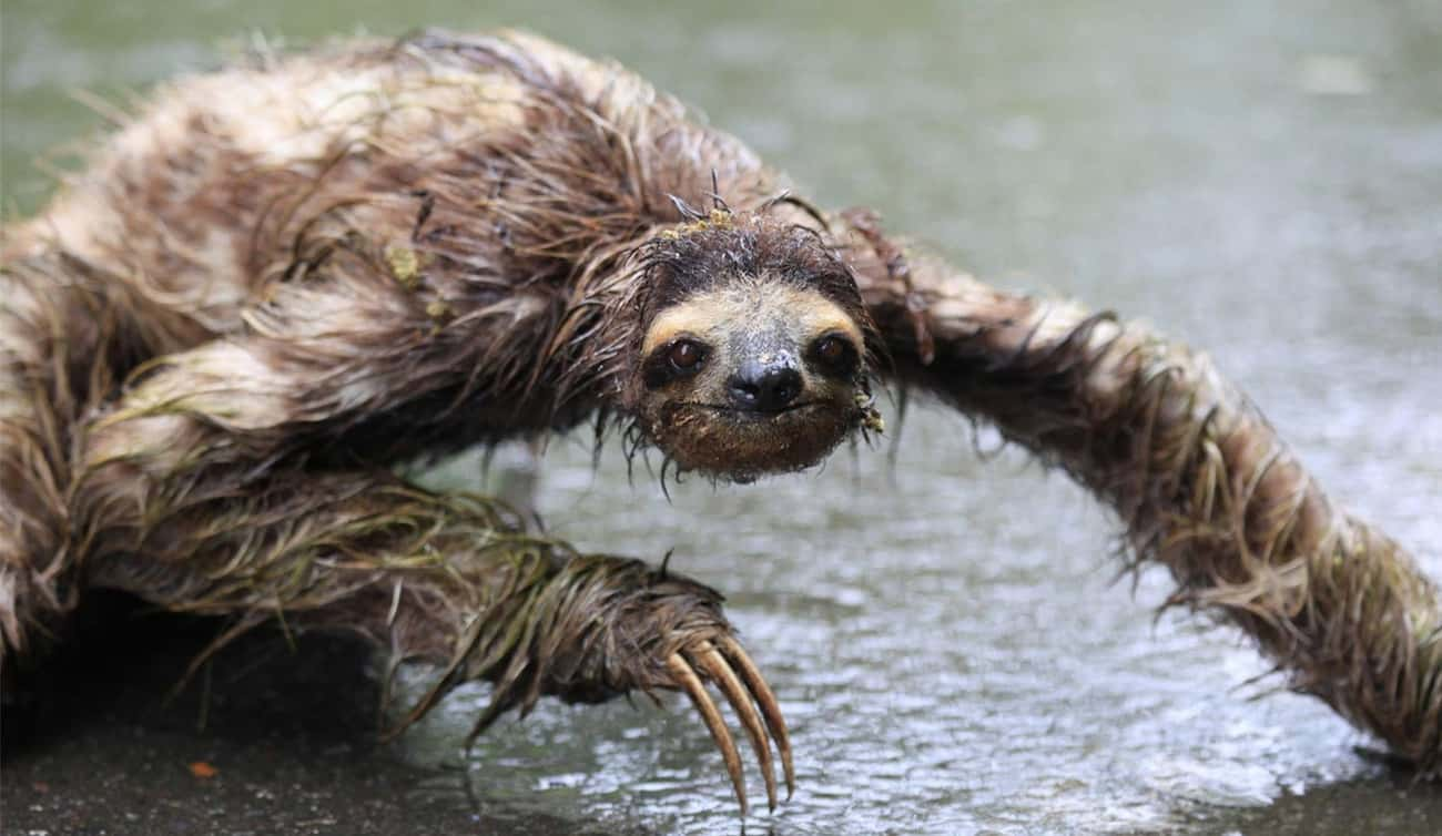 Who Dare Disturb Swamp Sloth&# is listed (or ranked) 2 on the list 19 Cute Animals That Look Scary When They're Soaking Wet