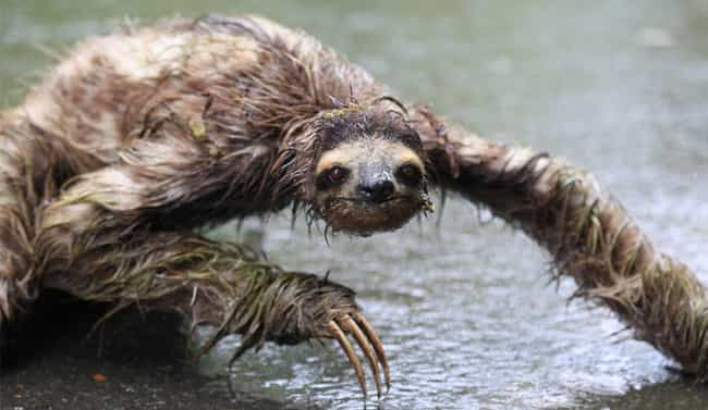 Who Dare Disturb Swamp Sloth&#... is listed (or ranked) 4 on the list 22 Cute Animals That Look Scary When They're Soaking Wet
