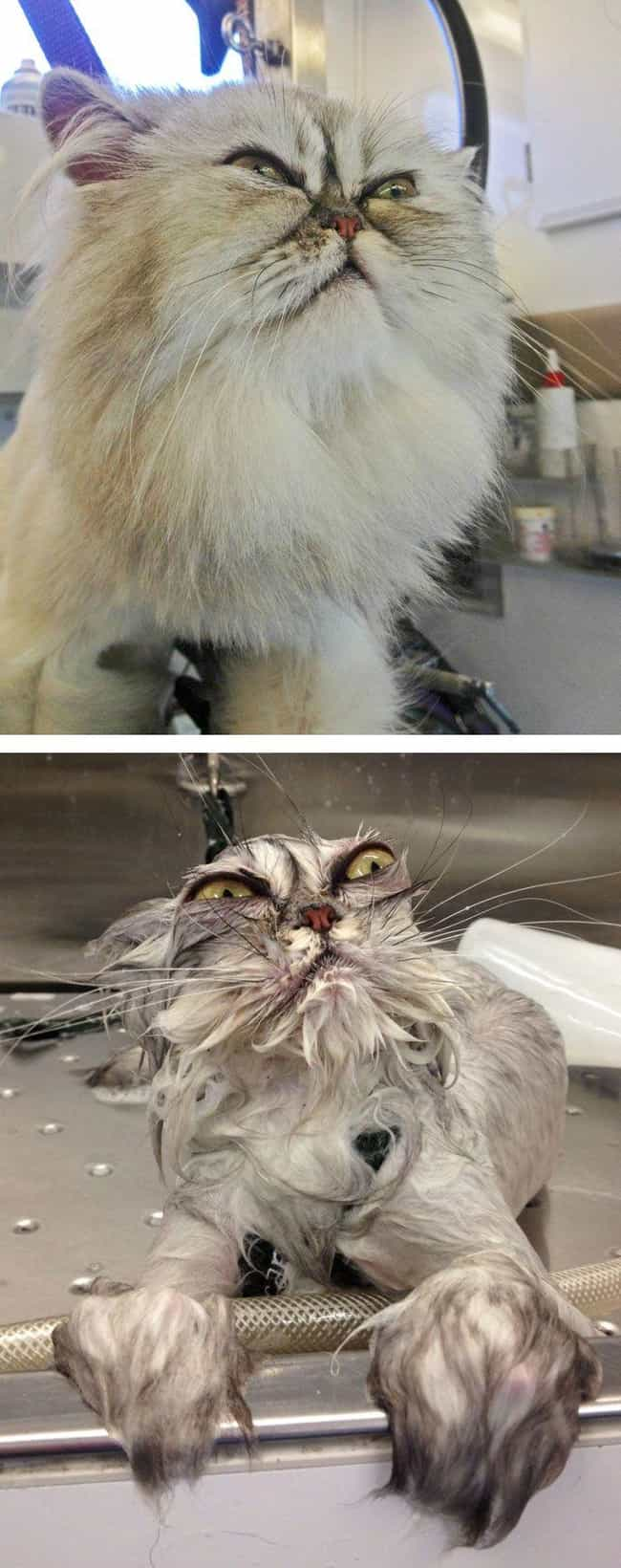 Bath Kitty Shall Exact Vengean... is listed (or ranked) 3 on the list 22 Cute Animals That Look Scary When They're Soaking Wet