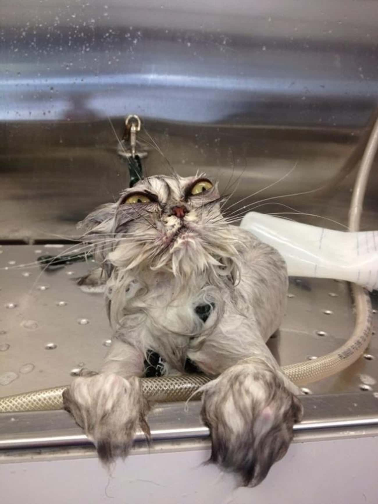 Bath Kitty Shall Exact Vengean is listed (or ranked) 4 on the list 19 Cute Animals That Look Scary When They're Soaking Wet