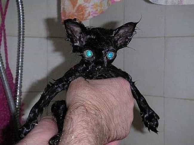 Loooook Into My Eyeeeees is listed (or ranked) 2 on the list 22 Cute Animals That Look Scary When They're Soaking Wet