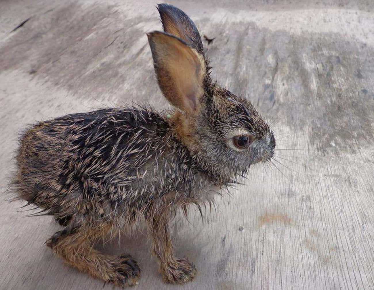 Monty Python Rabbit Threatens  is listed (or ranked) 3 on the list 19 Cute Animals That Look Scary When They're Soaking Wet