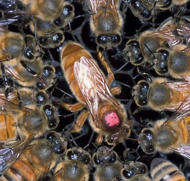 Unless They Are Africanized is listed (or ranked) 2 on the list 14 Things You Should Know About Being Attacked by a Swarm of Bees