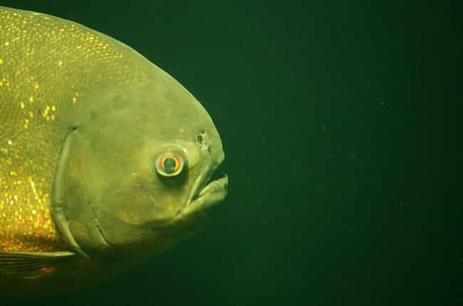 What It's Like to Be Devoured Alive by Piranhas
