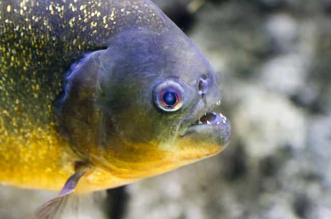 Piranhas Prefer to Attack Face... is listed (or ranked) 3 on the list What It's Like to Be Devoured Alive by Piranhas