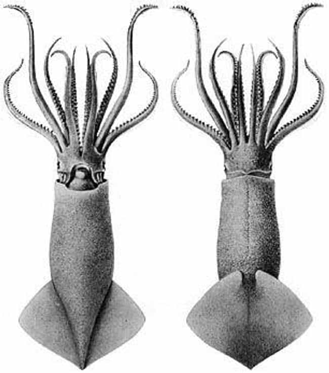 The Greater Hooked Squid... is listed (or ranked) 2 on the list 11 Animals With The Craziest Junk-To-Body Ratio In All Of Nature