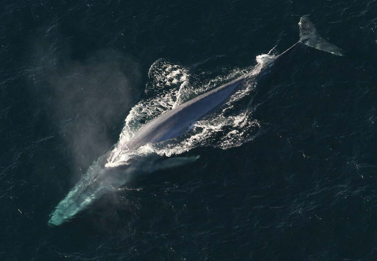 The Blue Whale is listed (or ranked) 3 on the list 11 Animals With The Craziest Junk-To-Body Ratio In All Of Nature