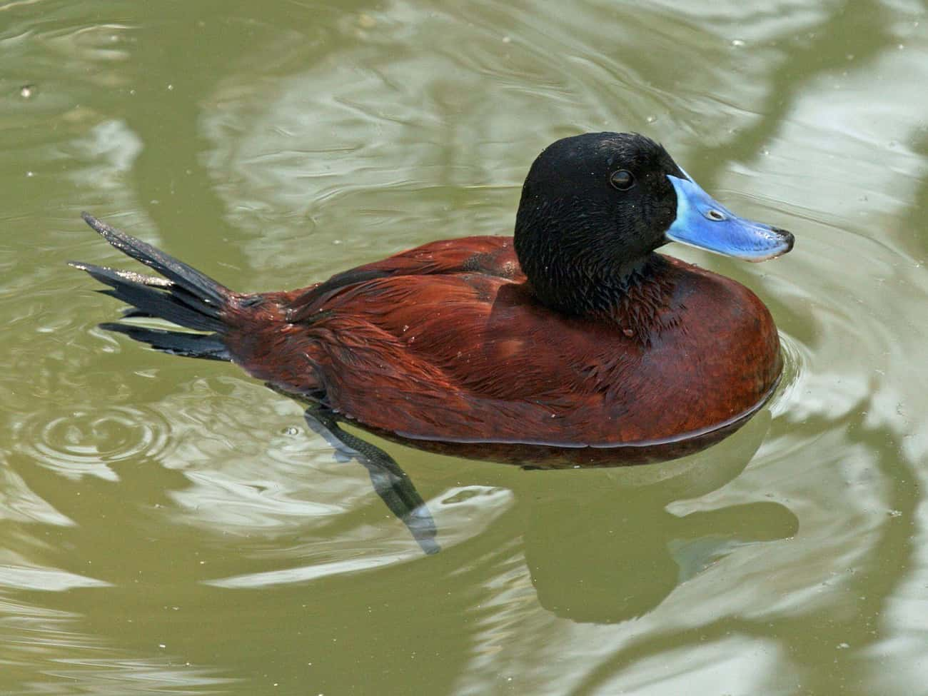 The Argentine Lake Duck is listed (or ranked) 4 on the list 11 Animals With The Craziest Junk-To-Body Ratio In All Of Nature