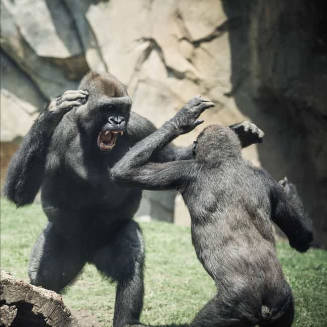 Chimps Attack Humans In Captiv... is listed (or ranked) 4 on the list Ways Chimpanzees Are Just as Brutal (and Sometimes Even Moreso) as Humans