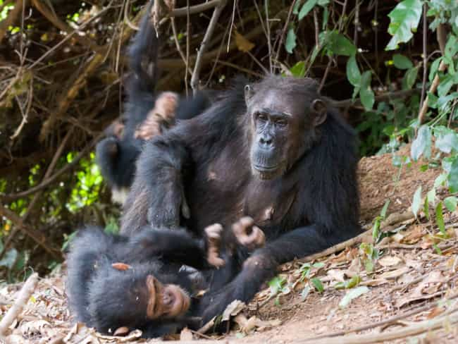 They Commit Infanticide And En... is listed (or ranked) 3 on the list Ways Chimpanzees Are Just as Brutal (and Sometimes Even Moreso) as Humans