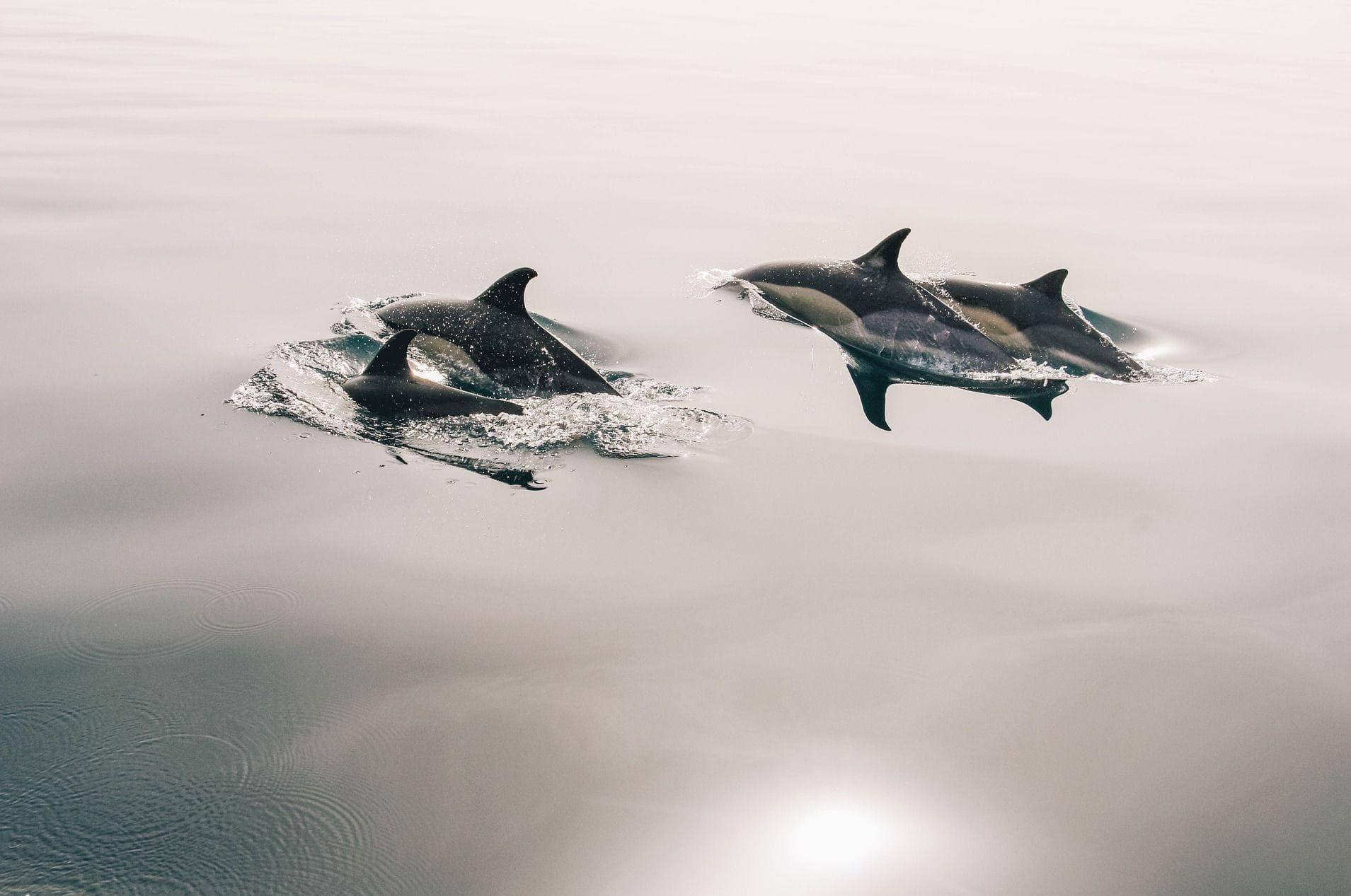 For nogle arter, f.eks. nogen delfiner, mener man at homoseksuel adfærd er en.