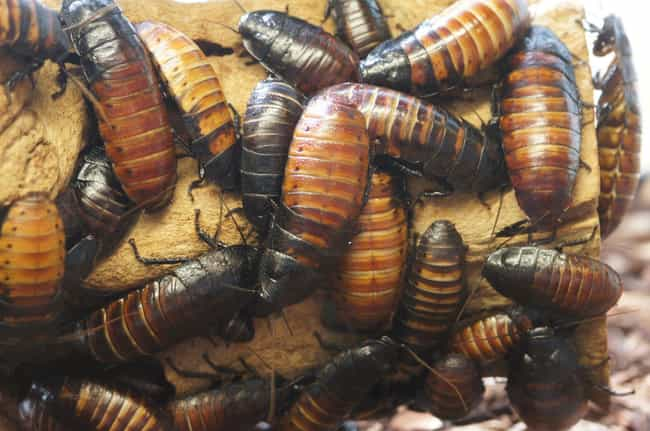 They Can Live for 40 Min... is listed (or ranked) 2 on the list Horrifying Facts About Cockroaches, An Indestructible Insect Hiding In Your Wall