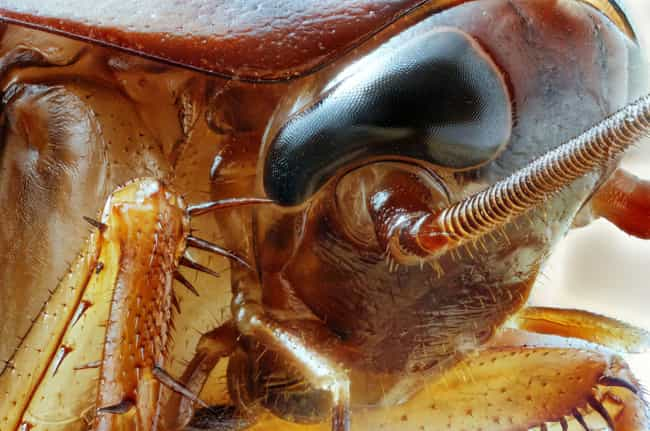 They Carry a Wide Variet... is listed (or ranked) 4 on the list Horrifying Facts About Cockroaches, An Indestructible Insect Hiding In Your Wall