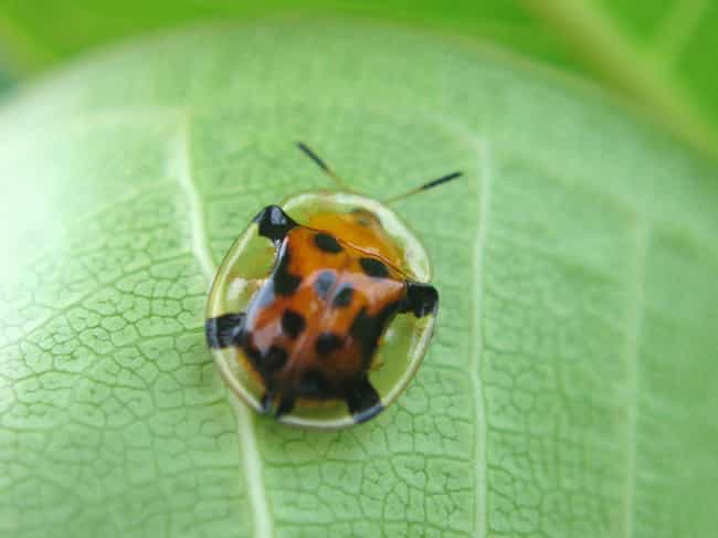The Tortoise Shell Beetle is a... is listed (or ranked) 3 on the list 10 Real Transparent Animals That Let You Take a Peek at Their Insides