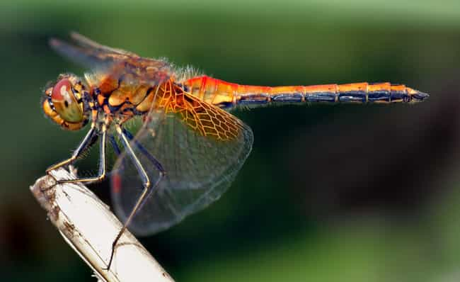 Dragonflies Catch More T... is listed (or ranked) 1 on the list 10 Creatures That Are Nature's Most Efficient Killers