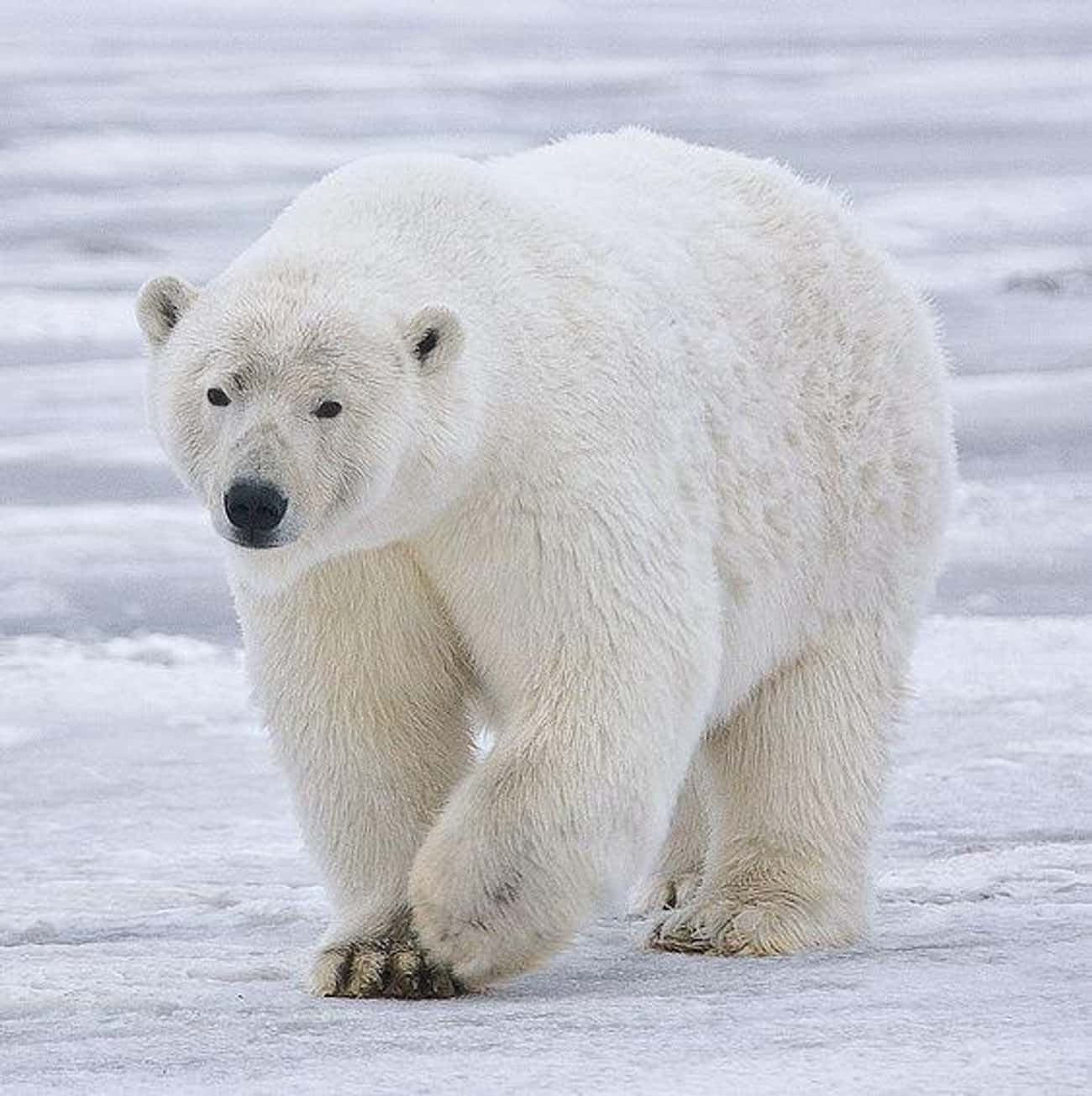 The Arctic Polar Bear Has Evol is listed (or ranked) 4 on the list 10 Creatures That Are Nature's Most Efficient Killers