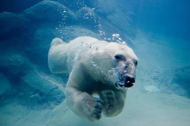 The Arctic Polar Bear Ha... is listed (or ranked) 4 on the list 10 Creatures That Are Nature's Most Efficient Killers