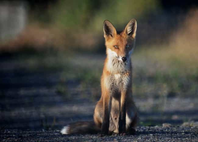 A Single Fox Killed 74 A... is listed (or ranked) 3 on the list Vicious Animals That Kill Just for Fun