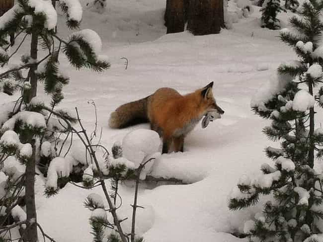 A Single Fox Killed 74 Animals... is listed (or ranked) 3 on the list Vicious Animals That Kill Just for Fun