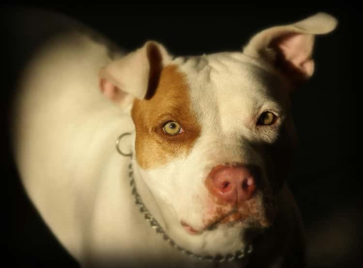 Scarface The Pitbull Mauled His Owner Over A Sweater