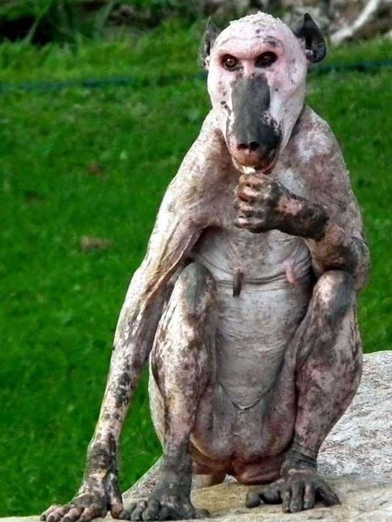 This Poor Hairless Baboon Spot is listed (or ranked) 1 on the list 22 Animals That Look Way More Terrifying When They're Hairless