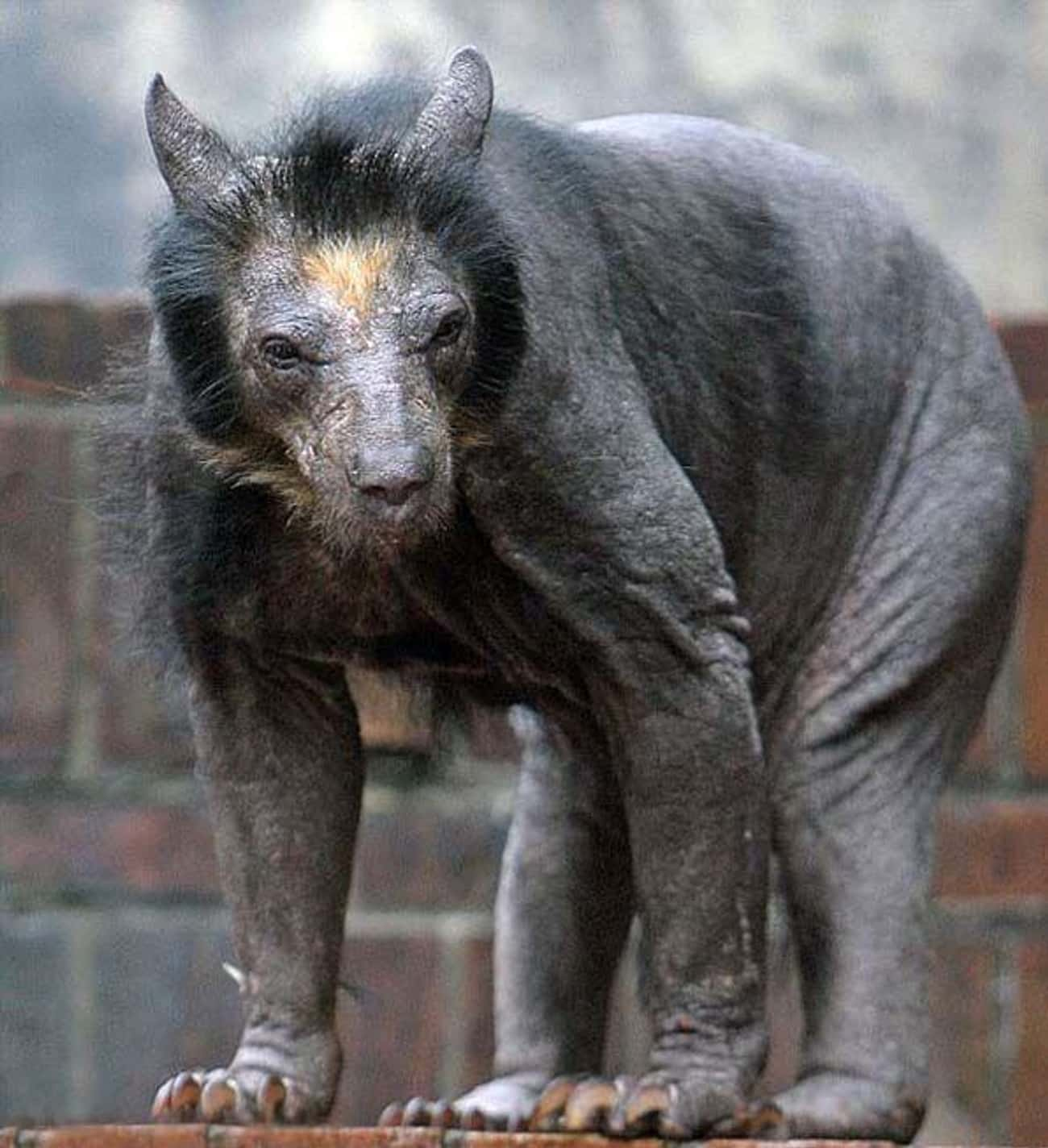 This Female Bear Suffered A Ca is listed (or ranked) 2 on the list 22 Animals That Look Way More Terrifying When They're Hairless