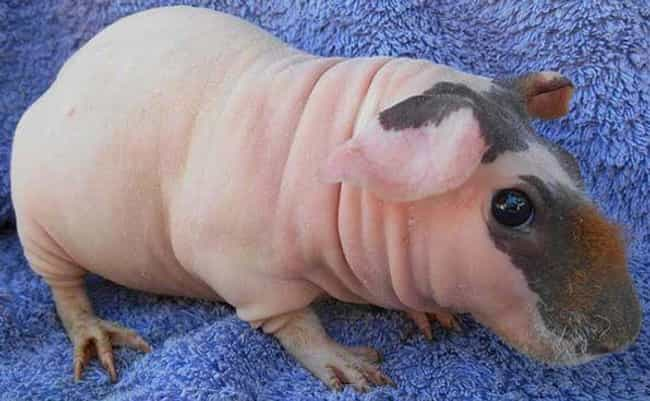 """Genetically Modified Hairless Guinea Pigs Are Sometimes Called """"Skinny Pigs"""""""