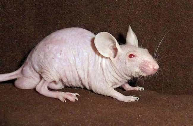 Hairless Lab Rats Are Used To Research Immune And Kidney Diseases