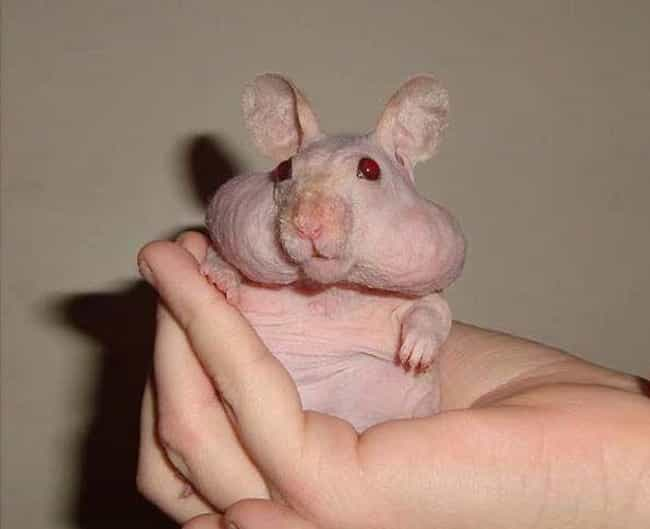 Syrian Hamsters Have A Rare Genetic Gene That Can Result In Hairlessness