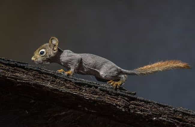 Illness Caused By Mites Can Cause Hair Loss In Squirrels