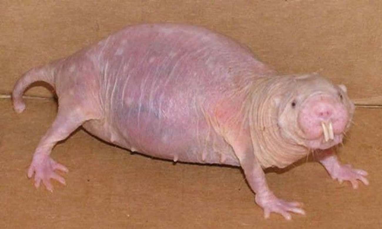 This Hairless Rodent Is A Nake is listed (or ranked) 3 on the list 22 Animals That Look Way More Terrifying When They're Hairless