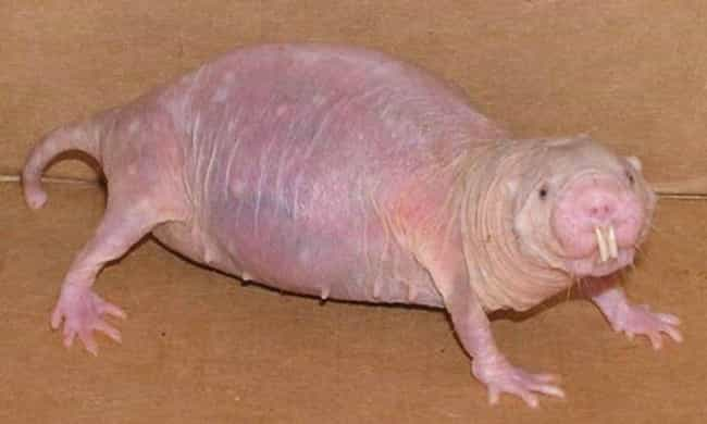 This Hairless Rodent Is A Nake... is listed (or ranked) 3 on the list 22 Animals That Look Way More Terrifying When They're Hairless