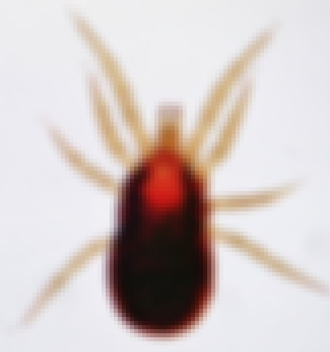 The Bird Mite is listed (or ranked) 2 on the list 11 Bugs That Will Lay Their Eggs Inside You