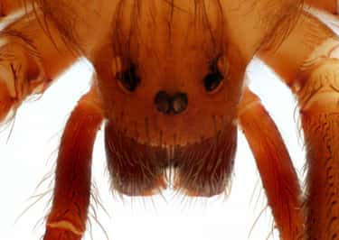 Brown Recluse Spider Venom Causes Your Blood Cells To Burst