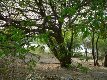 The Manchineel Tree Can Cause  is listed (or ranked) 1 on the list 12 Merciless Plants That Will Go Out Of Their Way To End Your Life