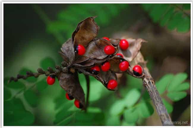 The Rosary Pea Is The Nightmar... is listed (or ranked) 3 on the list 12 Merciless Plants That Will Go Out Of Their Way To Brutally Murder You