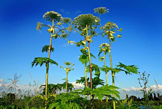 Giant Hogweed - Britain's ... is listed (or ranked) 4 on the list 12 Merciless Plants That Will Go Out Of Their Way To Brutally Murder You