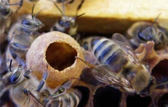 She's Prematurely Ripped from ... is listed (or ranked) 3 on the list 12 Horrifying Aspects of a Queen Bee's Life