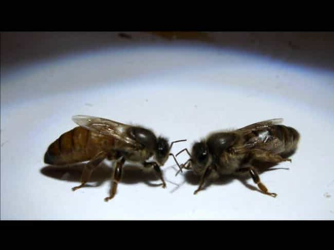 Virgin Queen Bees Are Forced t... is listed (or ranked) 4 on the list 12 Horrifying Aspects of a Queen Bee's Life