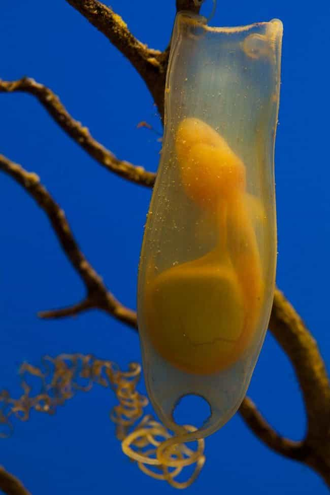 Shark Eggs is listed (or ranked) 1 on the list 17 Bizarre Animal Eggs That Will Make You Glad To Be A Mammal