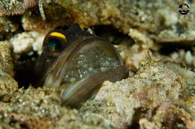 Jawfish Eggs is listed (or ranked) 2 on the list 17 Bizarre Animal Eggs That Will Make You Glad To Be A Mammal
