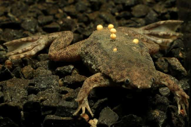 Surinam Toad Eggs is listed (or ranked) 3 on the list 17 Bizarre Animal Eggs That Will Make You Glad To Be A Mammal