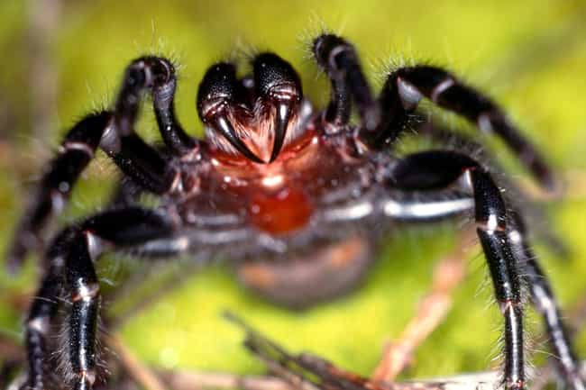Australian Funnel-Web Spider is listed (or ranked) 3 on the list The 11 Most Poisonous Animals In The World Ranked By How Quickly They Kill You