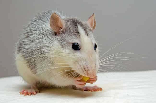 Rats Can Never Stop Chewing Be... is listed (or ranked) 1 on the list 12 Facts You Didn't Know About Rats That Will Seriously Disturb You