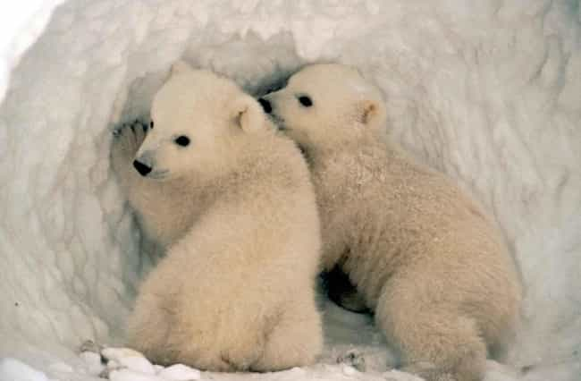 The Polar Bears In 'Frozen Pla... is listed (or ranked) 4 on the list 12 Shocking Facts About Nature Documentaries That Prove They Are Deceiving You