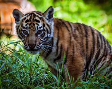 The Extinction Of The Sumatran Tiger Could Cut Off Our Oxygen Supply