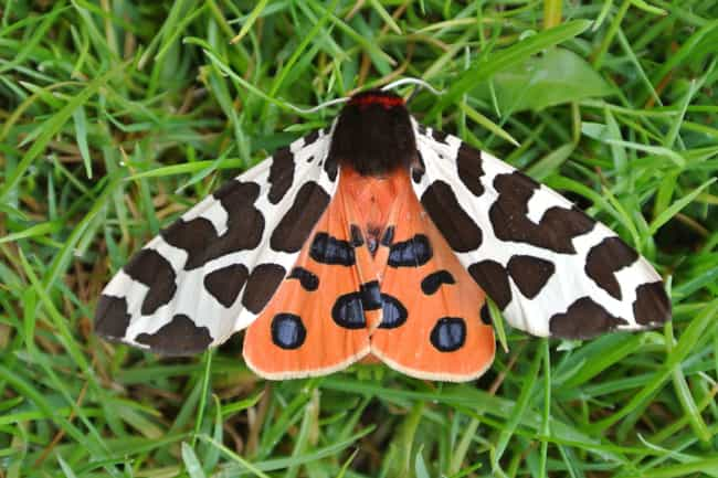 If Large Moths Go Extinct, Our... is listed (or ranked) 3 on the list 9 Critically Endangered Animals Whose Extinction Will Have Dire Consequences